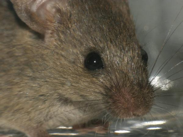 mices-3-pest-control-aaahomemaster-com-jpg
