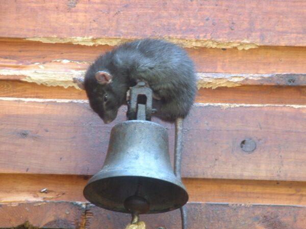 mouse-2-pest-control-aaahomemaster-com-jpg