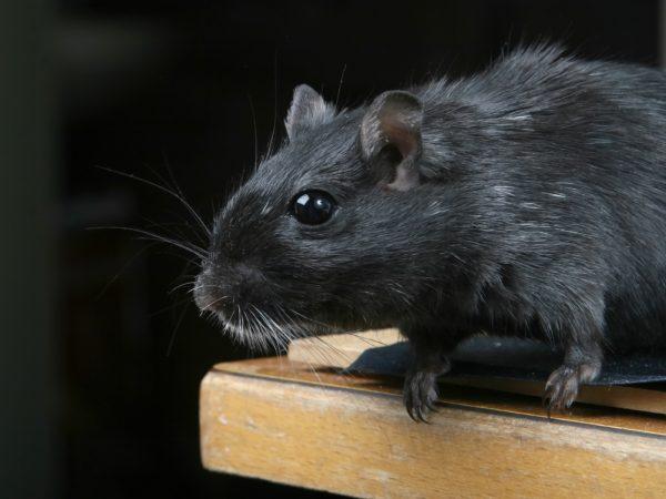 rat-pest-control-aaahomemaster-com